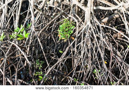 The Root Or Branch Of Mangrove Tree In Brackish Water