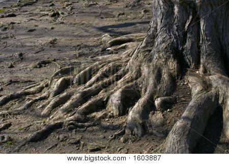 Tree Trunk With Roots