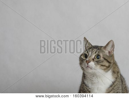 gray and white tabby cat with big round eyes close up