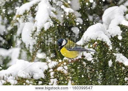 Great tit sits on spruce branch covered snow during a snowfall in winter forest