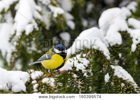 Great tit sits on spruce branch covered snow in winter forest