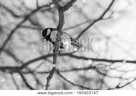 Great tit sits on branch in winter forest black white image