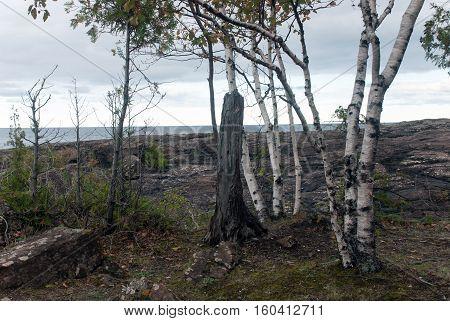 The trunks of white birches on the black rocks of Presque Isle Park, Marquette County, Michigan, USA