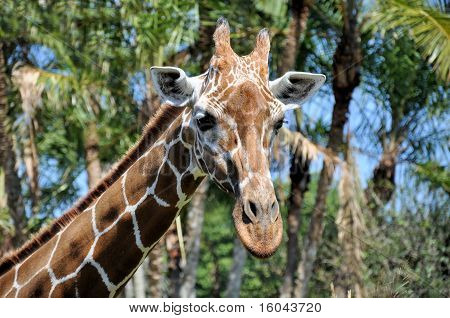 Close up of a reticulated giraffe