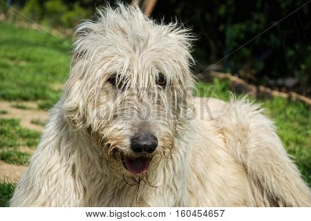 Portrait of beautiful white Irish wolfhound dog posing in the garden. Happy dog sitting on grass at spring time