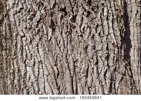 Closeup, macro of an old oak tree in the sun. Wooden bark on a tree. Bright sunshine and spring.