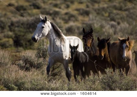 Wild Horses Standing In The Sage Brush