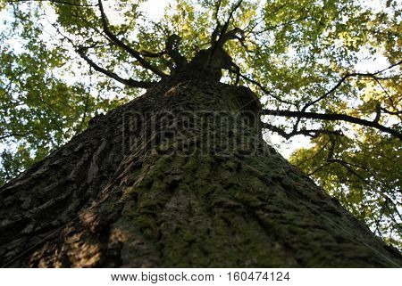 a high deciduous tree seen from below clear to see the irregularities of bark and its green color