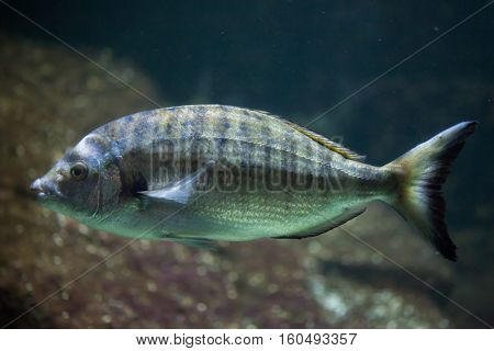 Sharpsnout seabream (Diplodus puntazzo). Marine fish.