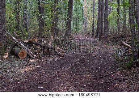 Pine Stump, Result Of Tree Felling. Total Deforestation, Cut Forest
