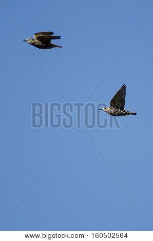 Two European Starlings Flying in a Blue Sky