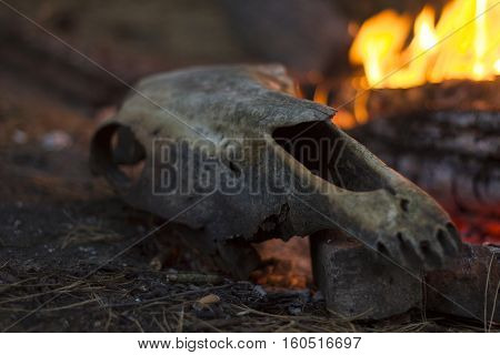 Cow skull on a rock by the fire in the forest