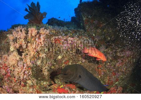 Giant Moray Eel on coral reef