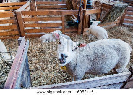 Sheep eating hay at an organic European farm