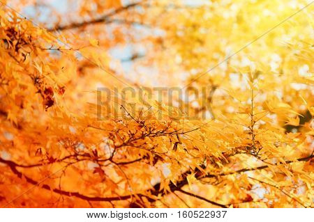 Maple tree branch in park - beautiful orange color ready for the autumn