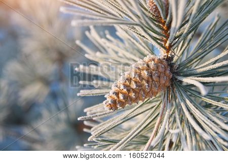 Macro of spruce. Nature composition.