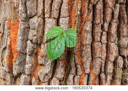 The Vine leaves up along the trunk