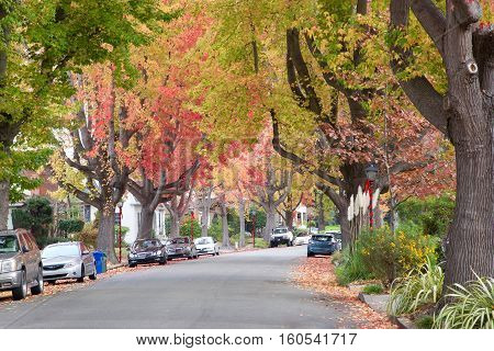 Tall Liquid ambar commonly called sweetgum tree or American Sweet gum tree lining an older neighborhood in Northern California. Christmas decorations on old fashion light posts lining the street