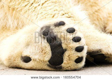 Paws of polar bear. Ursus maritimus. Wild arctic animal