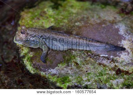 Atlantic mudskipper (Periophthalmus barbarus). Marine fish.