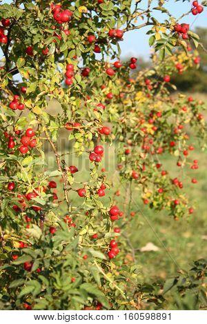 Healthy rose hip fruits on wild bush tree. Autumn season