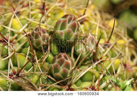 Close up of cactus flower buds macro