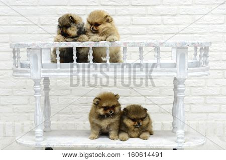 little puppies Spitz playing and having fun in the Studio on white background