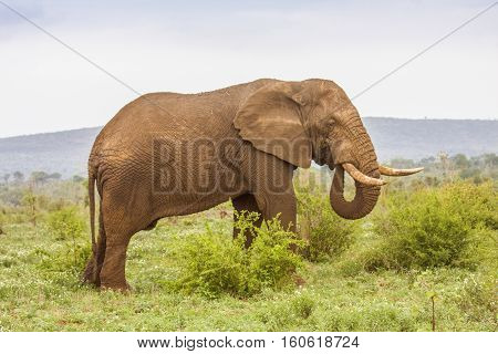 wild african bush elephant walking in a green savannah in Kruger Park, South Africa