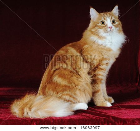 Red Mixed-bred Cat Sits
