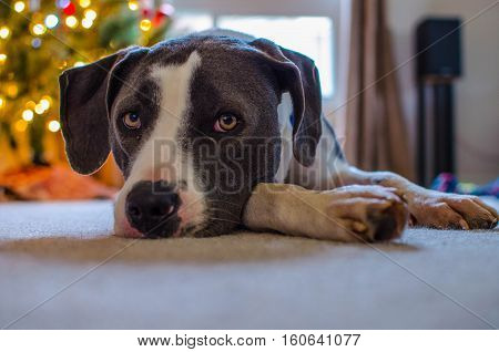 Young black and white hound mix lying in front of Christmas tree