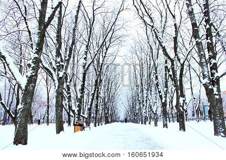 winter beautiful park with many big trees and path
