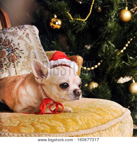 Chihuahua dog portrait posing in Santa hat lying on vintage armchair with cushions, christmas holiday card