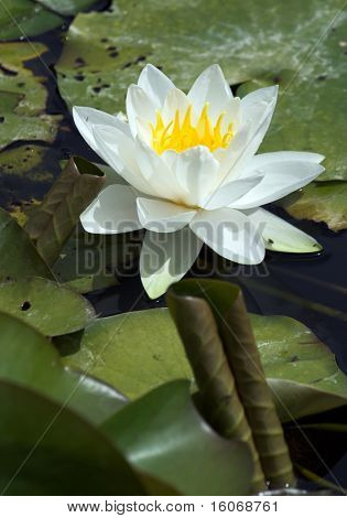 White waterlily and curled leaf