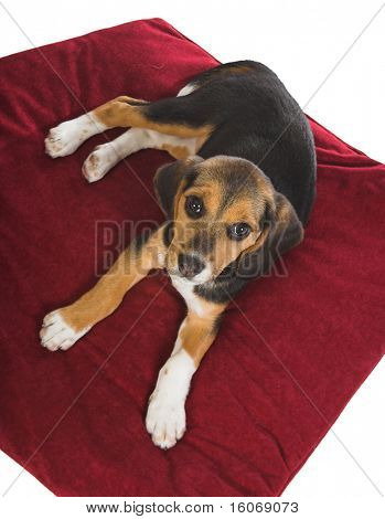 Beagle puppy dog looking up from his red pillow