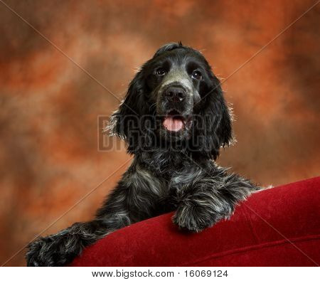 Four month old cocker spaniel puppy dog on a red couch
