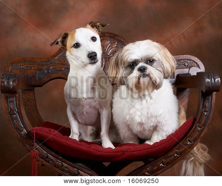 Two small dogs posing, a jack russel and a shih-tzu