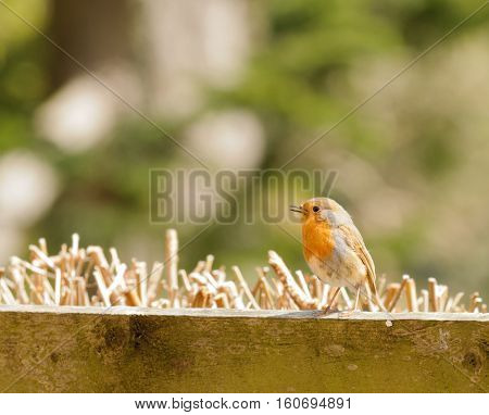 European Robin (Erithacus rubecula rubecula) sitting on a fence, a common Passiforme
