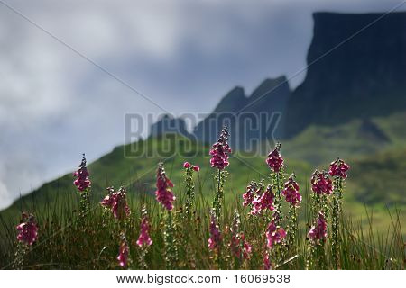 The jagged mountains of the Scottish Isle of Skye, and foxglove flowers in the foreground