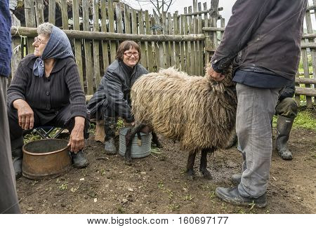 Brezovica Serbia - May 12 2016: Milking sheep in Brezovica on the mountain household