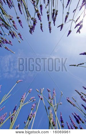 Lavender in the French Provence shot against a blue sky