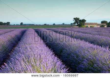 Farm and rows of scented flowers in the lavender fields of the French Provence near Valensole