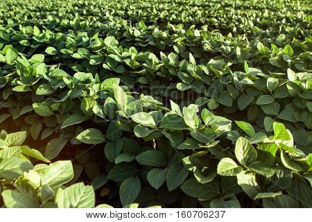 Green young healthy organic soybean field, background