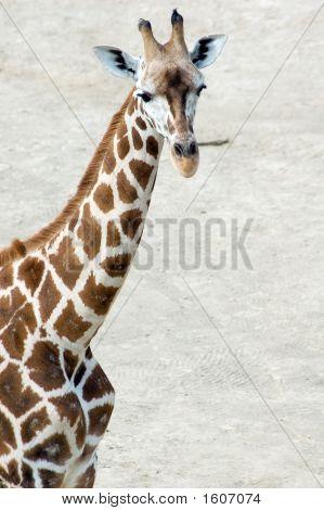 Rotschild'S Giraffe