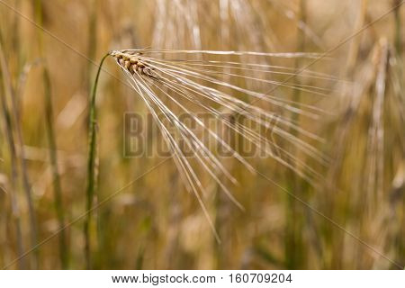 Ear of natural cereals in the sunshine