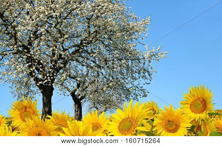 Spring landscape with blooming tree and sunflower field.