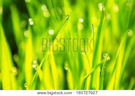 dew on the grass, a field of young wheat
