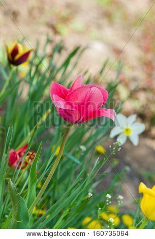 Pink tulip in a spring garden .