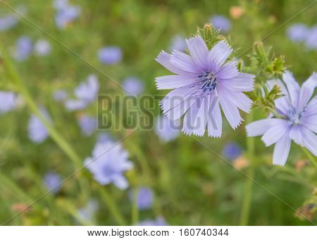 Chicory Wildflower field with Selective Focus on Front Flower