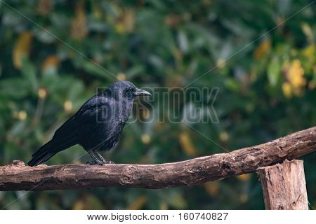 Crow Perched on Rustic Hand Rail in front of green background