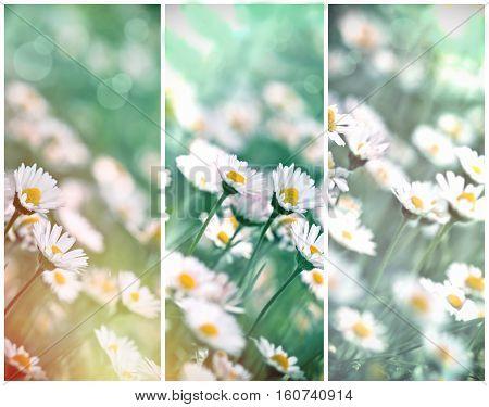Meadow landscape - flowering daisy flowers in spring